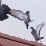 Taubenflug_k
